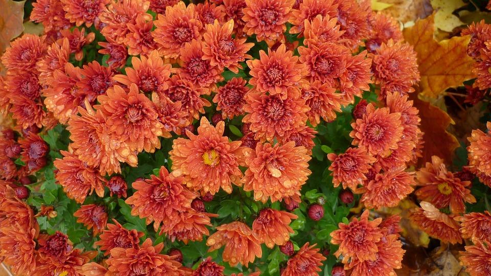 Bunga Aster Mekar Merah Foto Gratis Di Pixabay