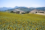 sunflowers, field, campaign