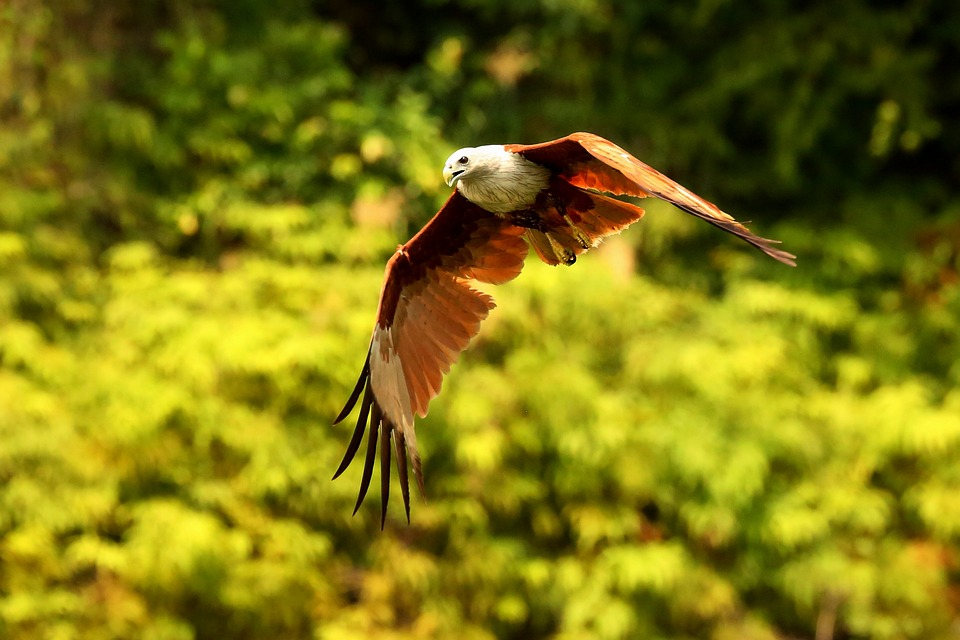 Red Hawk, Hawk, Bird, Hawk In Flight, Flying Hawk