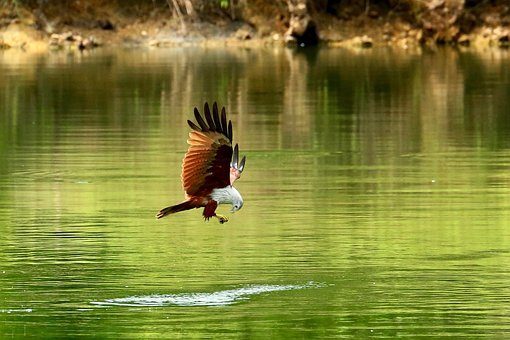 Red Hawk, Hawk, Bird, Hawk In Flight