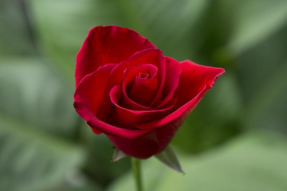 Emotion Roses Red Rose · Free Photo On Pixabay