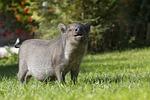 pig, piggy bank, wild boar