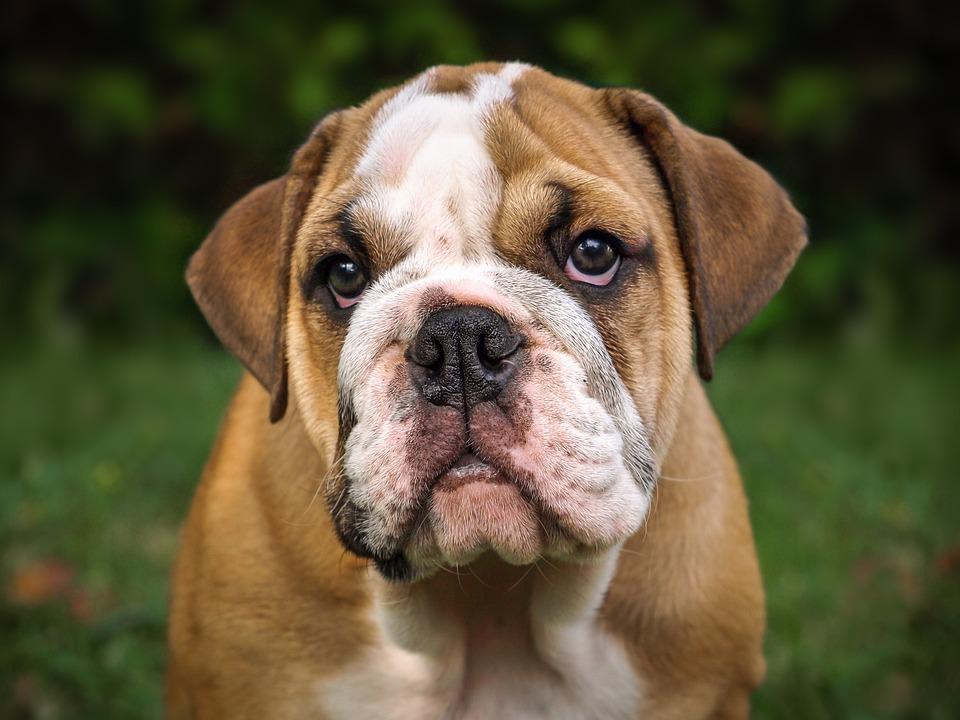 hund engelsk