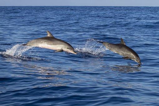Animal, Dolphin, Waters, Meeresbewohner
