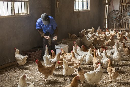 Poultry, Bird, Livestock, People