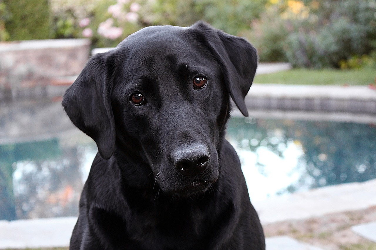 calm dog labrador