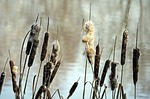 nature, reed, cattail