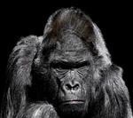 gorilla, monkey, ape