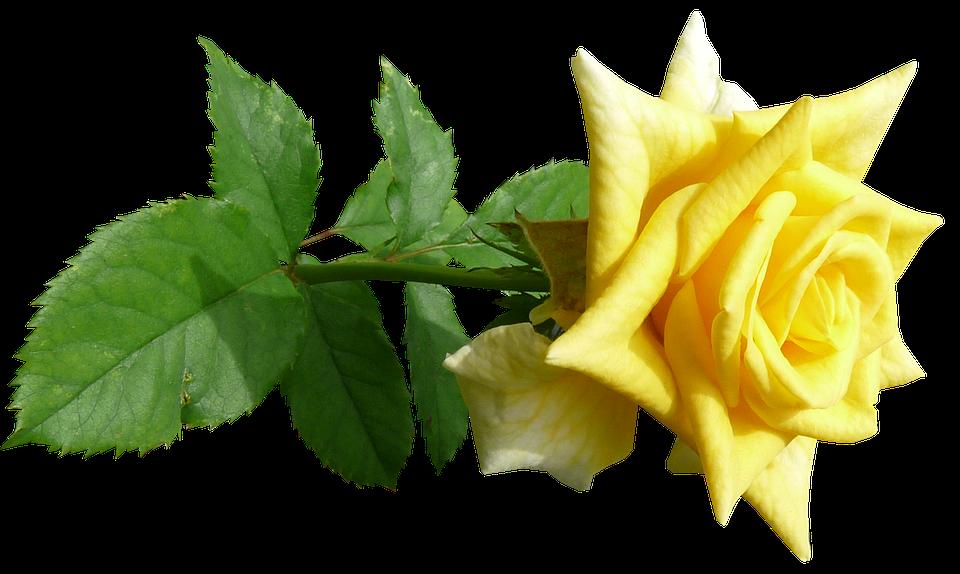 Rose Flower Stem Free Photo On Pixabay
