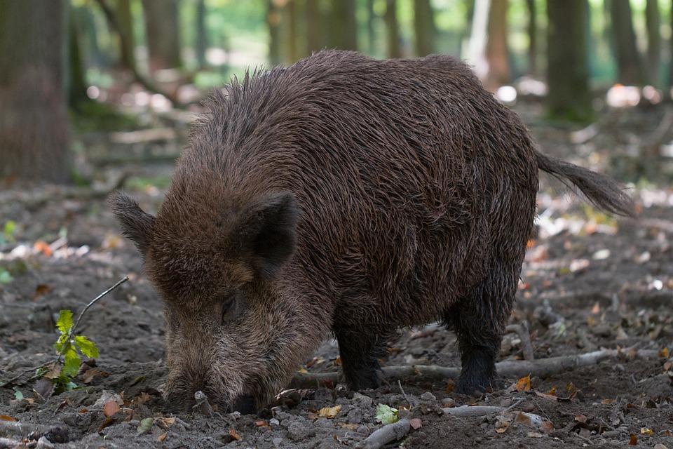 Säugetier, Natur, Tierwelt, Holz, Tier, Wildschwein