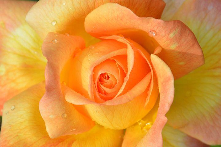 сдержанность желто-розовые розы картинки вообщем устроила решили