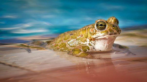 領海, 自然, カエル, 動物, 泳ぐ, プールの, 目, 動物の世界