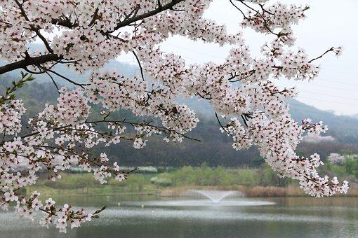 木, 桜, 四半期, 季節, 自然, 公園の桜, 湖畔の桜, パーク湖, ばね