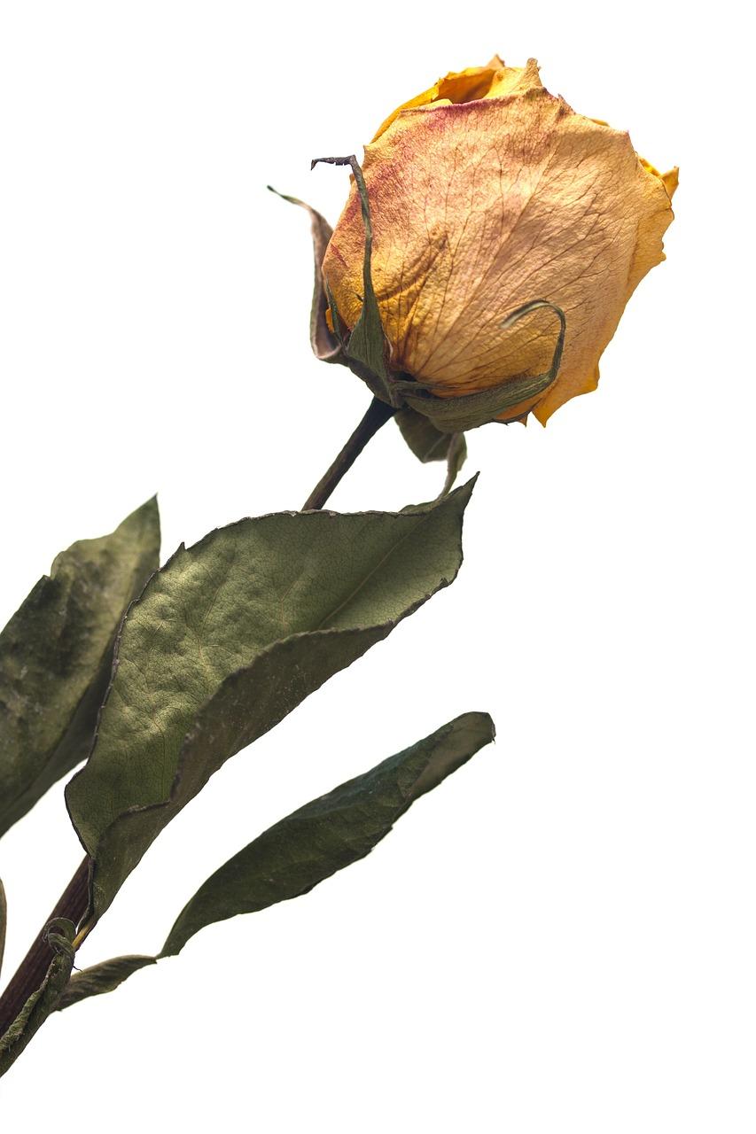картинка засыхающего цветка суккулентов, независимости