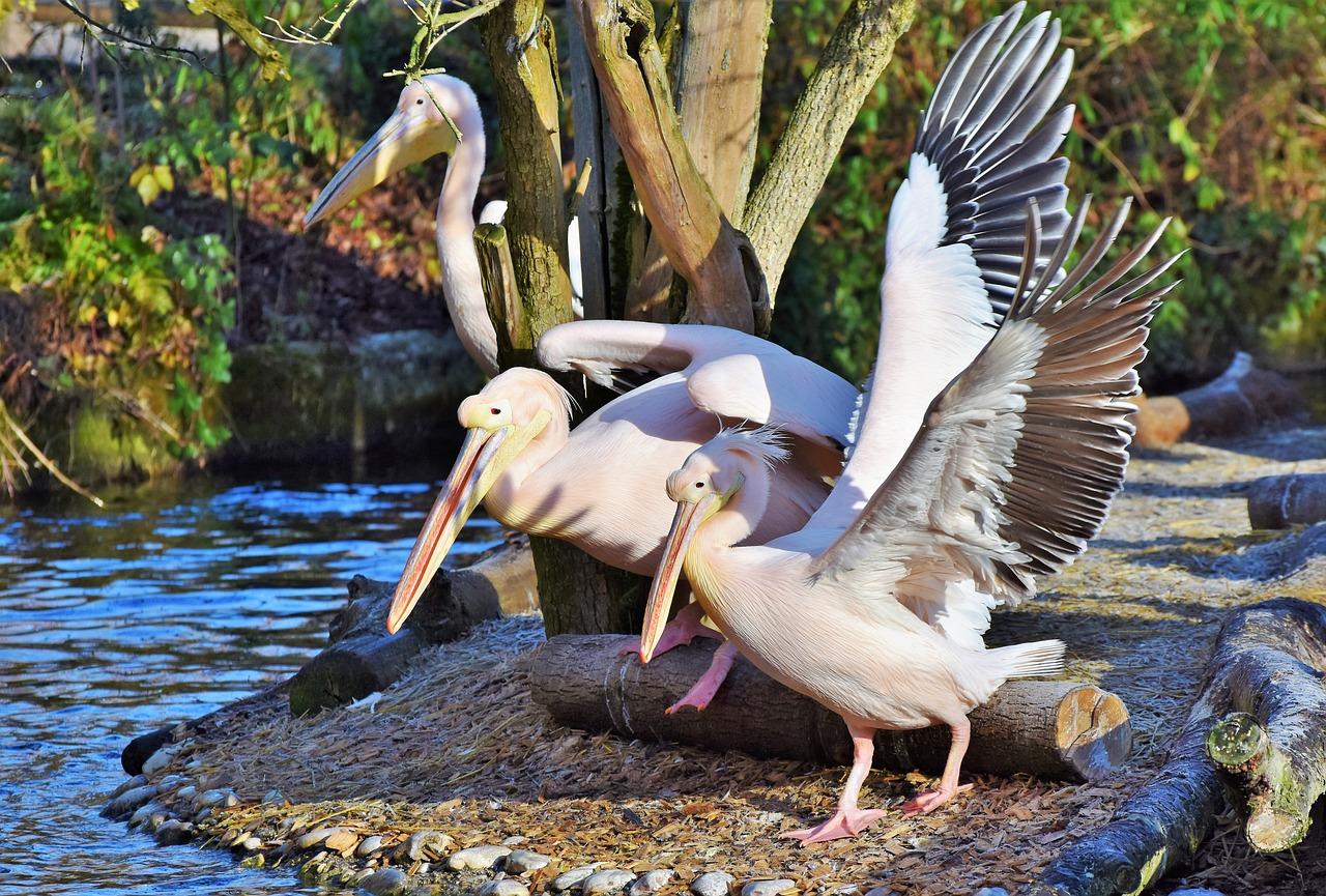 Поздравительные день, картинки с пеликаном для любви