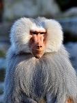 baboon, monkey, primate