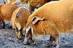 pig, boar