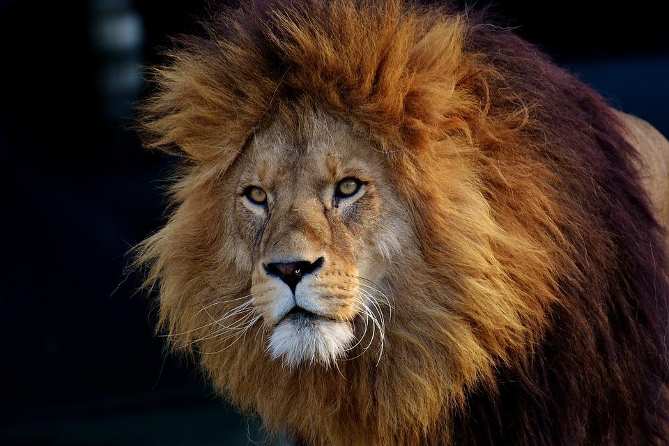 Lion predator dangerous free photo on pixabay - Images d animaux sauvages gratuites ...