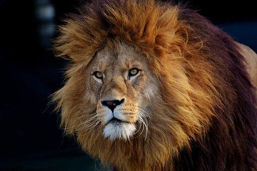 Lion, Predator, Dangerous, Mane, Big Cat, King of the jungle