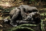 mammal, primate, nature