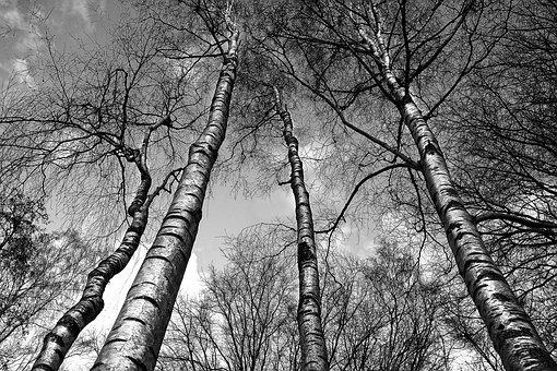Birch Trees Images Pixabay Download Free Pictures