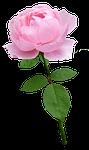 rose, stem