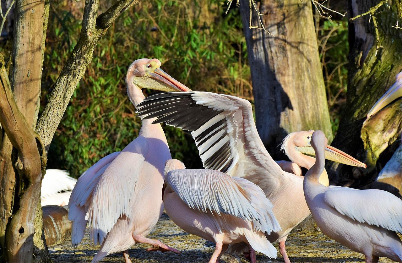 Картинки с пеликаном для любви