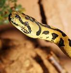 snake, reptile, python