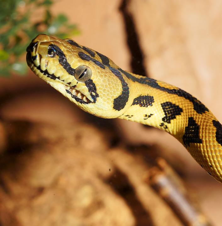 뱀 파충류 파이썬 다이아몬드 · Pixabay의 무료 사진