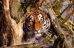 tiger, predator, lurking