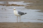 herring gull, beach