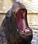 seal, sea lion, swim