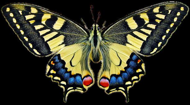 Schmetterling, Insekt, Flügel