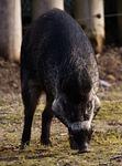 boar, wild animal, pig
