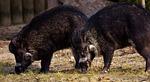 wild boars, wild animals, pig