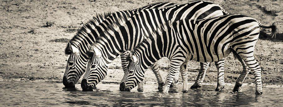 Zebra, Safari, Wildlife, Savanna, Nature