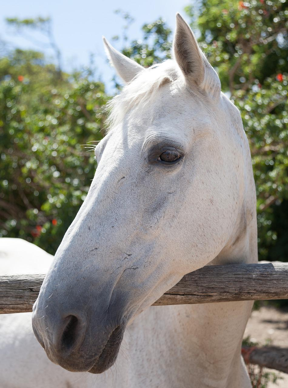 Portrait Of A White Horse Head Free Photo On Pixabay