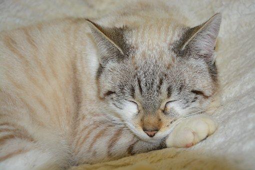 猫, 眠り猫, 商品のクラウド, 猫目を閉じる, 家畜, 動物, かわいい