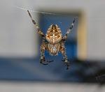 spider, arachnid, cobweb