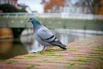 bird, nature, dove