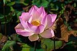 lotus, plant, flower