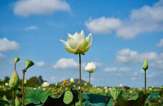 蓮, 工場, 花, 自然, 葉, 花びら, トロピカル, ホット, アジア