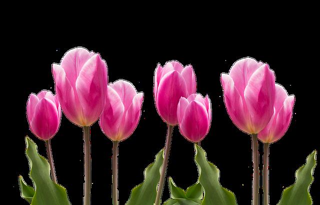 Spring Tulips Pink 183 Free photo on Pixabay