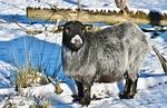 goat, wildlife park, bock
