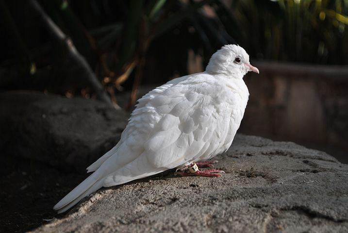 канадский голубь фото получается