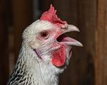 hen, cackle, beak