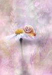 daisy, flower