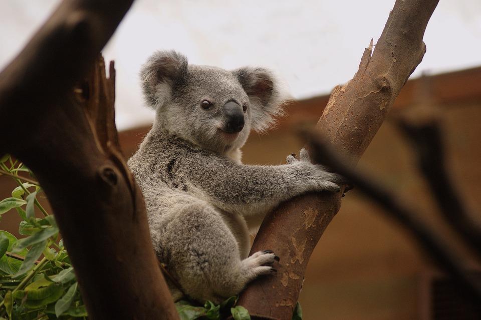 Koala, Zoogdieren, Het Wild Levende Dieren, Natuur