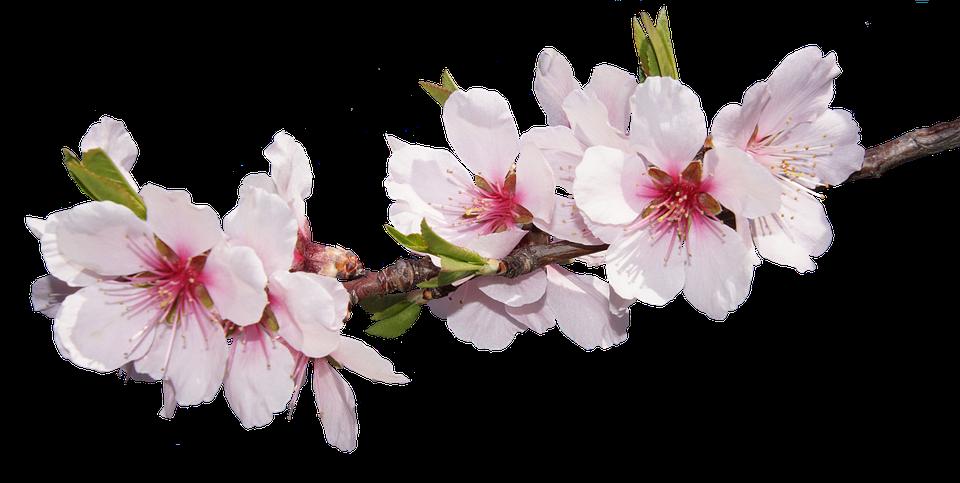 Blossom Bloom Almond · Free Photo On Pixabay