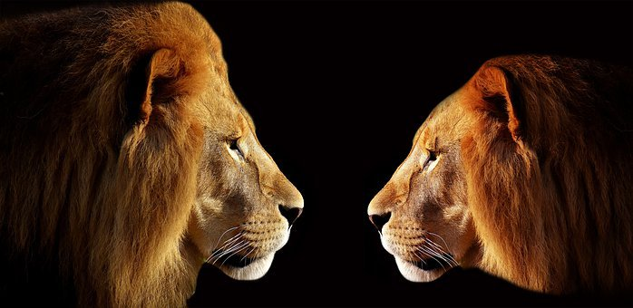 ライオン, 二つのライオン, 男性, Face-To-Face, 戦闘